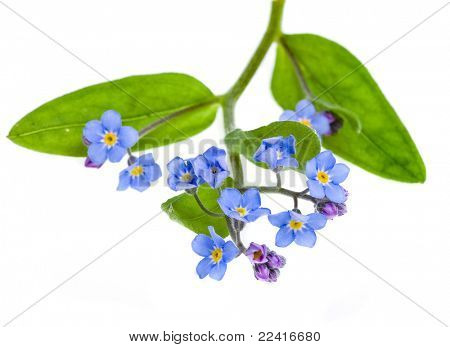 forget-me-not (Myosotis arvensis) flower  isolated on white