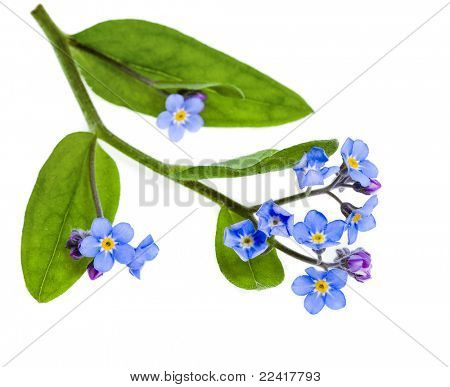 Spring flowers. Field Forget-me-not (Myosotis arvensis) isolated on white background.