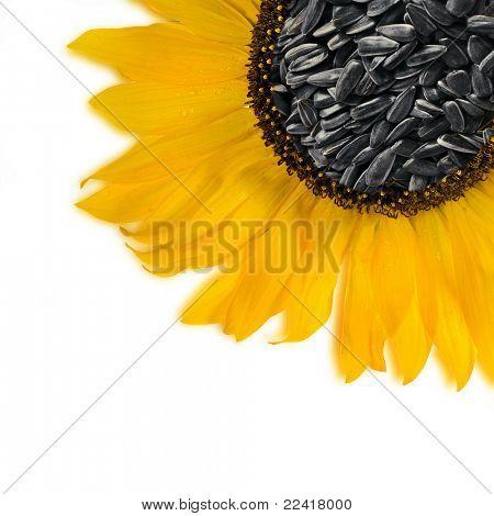Flower sunflower seeds Isolated over white