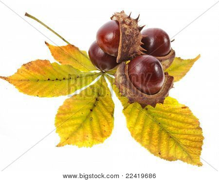 Leaf of horsechestnut tree , Horse Chestnuts Aesculus on a white background