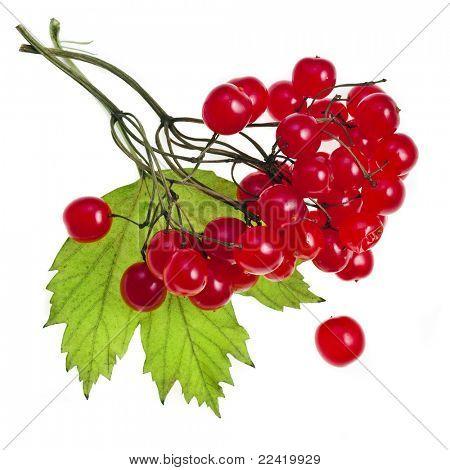 red Viburnum isolated on white