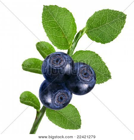 blueberry isolated