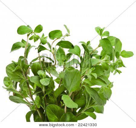 Marjoram Herb (origanum majorana )