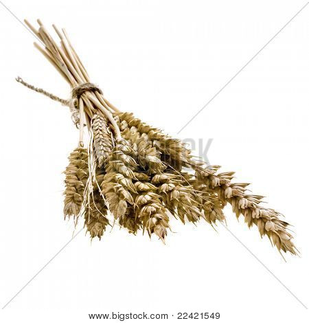 sheaf of dried ears of corn  isolated  on white