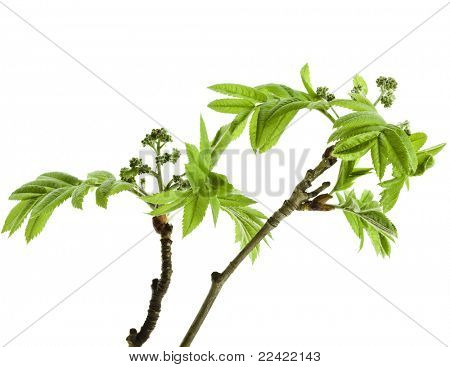 green young leaves rowanberry  isolated on white