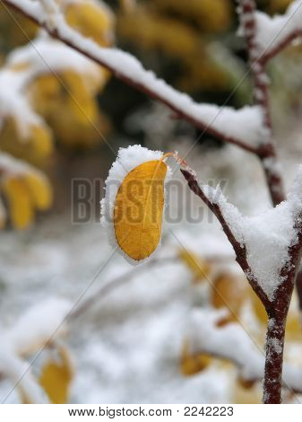Snow Covered Leaf