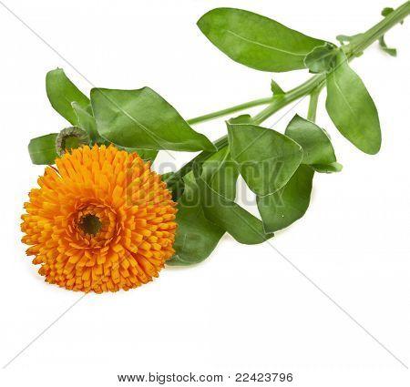 flower of calendula Isolated on white background