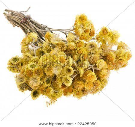 Immortelle (Helychrysum) isolated on white background