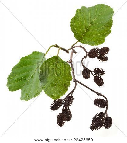 alder leaves with cones isolated on white