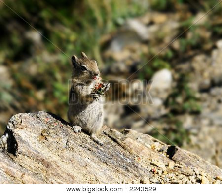 Chipmunk Eating Fruit