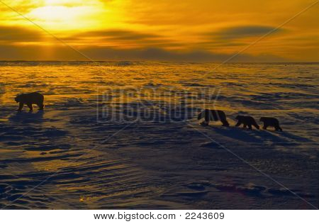 Polar Bears At Sunset