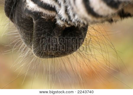 Nice Zebra Close Up