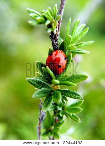 Shy Ladybug