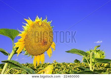 Ripening Sunflower Head