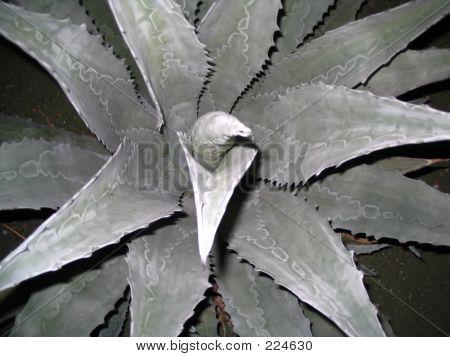 Evening Succulent #2