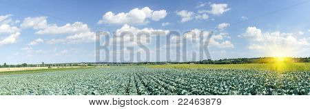 Splendid Field Of Green Cabbages  By Summertime.