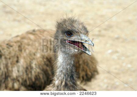 Emu Portrait !