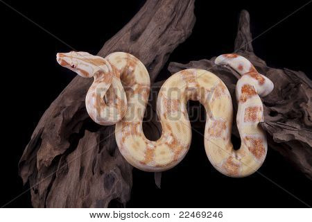 Albino Boa Constrictor On A Piece Of Wood