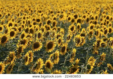 Sunflower Field In Late Evening Sunlight.