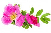 picture of wild-brier  - wild rose isolated on white background - JPG
