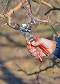 Pruning Of Apple Trees With Secateurs In The Orchard poster