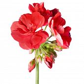 picture of geranium  - red geranium flower isolated  on white background - JPG
