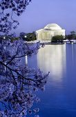 foto of cherry blossom  - Jefferson Memorial Washington DC with Cherry Blossoms in the Evening Night Shot