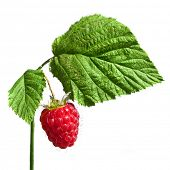 red raspberry isolated  on a white