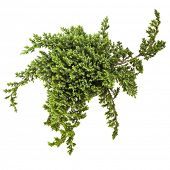 stock photo of juniper-tree  - juniper  - JPG