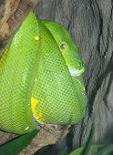 picture of green tree python  - A Green Tree Python coild on a tree trunk - JPG