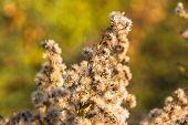 Fuzzy Weeds At Sunset In Bloomington, Minnesota poster