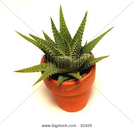 Miniture Cactus