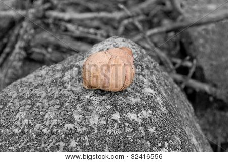 Concha de caracol vacía grosella