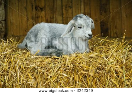 A young kid rests on a straw bale at