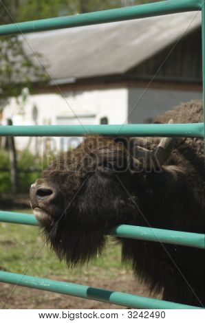 Zubr (Russian Bizon)