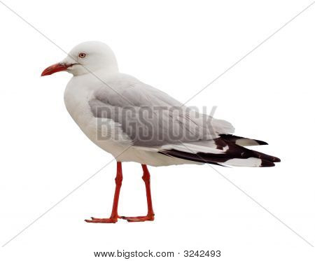 Isolated Seagull With Red Legs