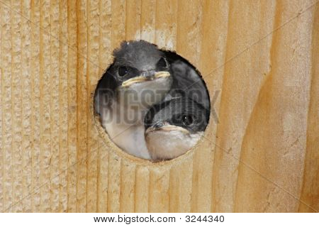 Pair Of  Baby Tree Swallows