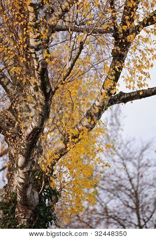 Birch Branches In Autumn