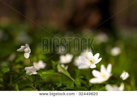 Spring Windflower
