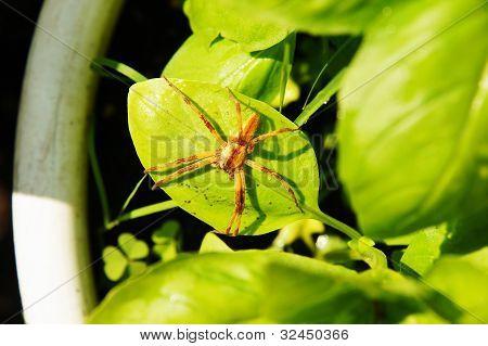 Spider On Basil