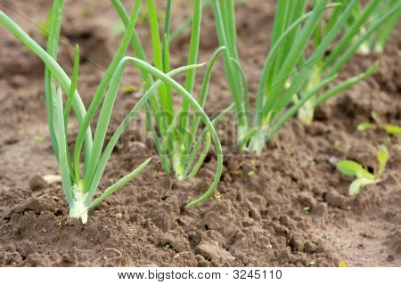 Spring Onions In Vegetable Garden