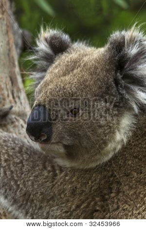 Wild Koala Turns His Head