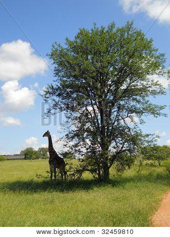 Giraf in Krüger