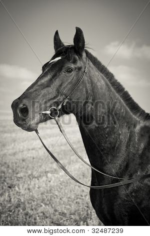 Portrait of black horse - Sepia Toned - Vintage Style