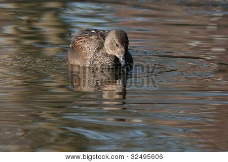 Gadwall (Anas strepera) in a lake