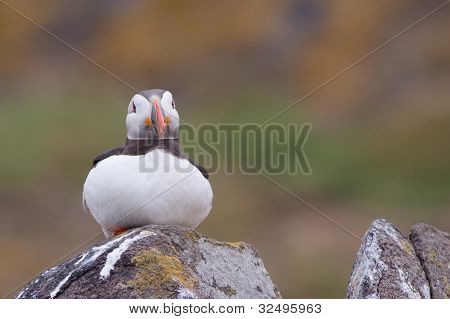 Puffin (Fratercula arctica) laying on a rock