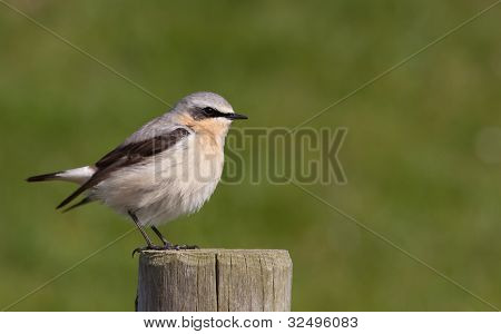 Wheatear sitting on a post