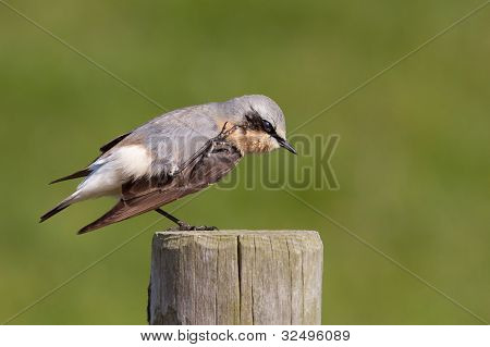 Wheatear scratching on a post