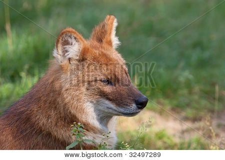Portrait of a Dhole