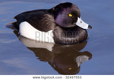 male Tufted Duck (Aythya fuligula) close-up